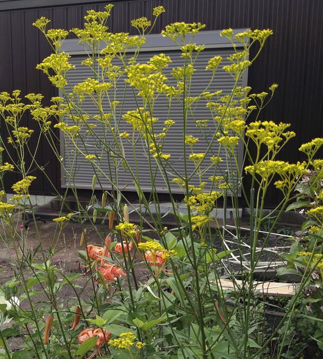 女郎花の庭 庭の花